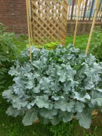 Red Hook Broccoli Plant