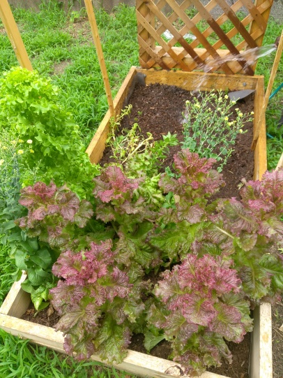 Red Hook Lettuces _ Spinach