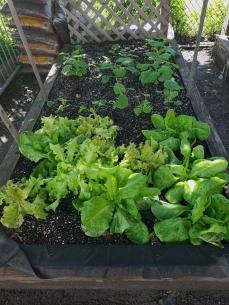 lettuce_20190715_1451512807