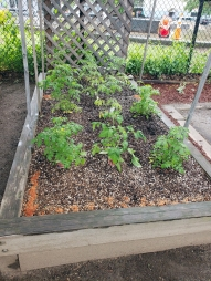tomatoes_in_june_20190712_1725049349